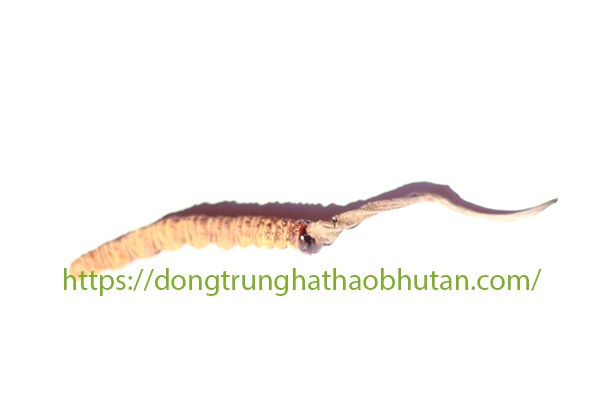 DONG-TRUNG-HA-THAO-LOAI-A